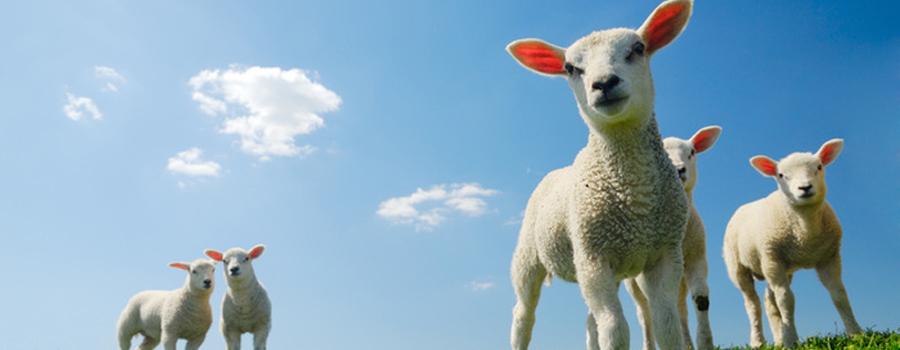 lamb_upclose1