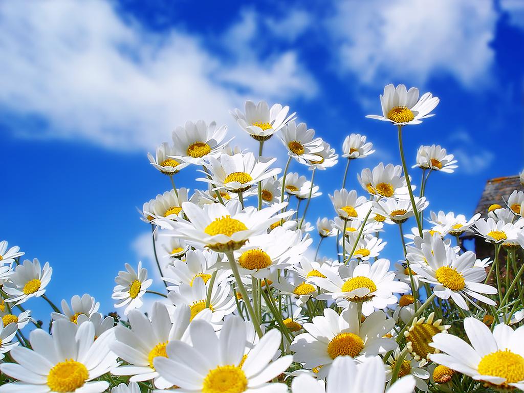 Spring_Daisys_1600